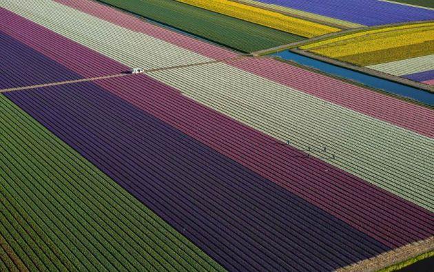 Tulipanes florecen en los campos entre Amsterdam y Leiden, Holanda. Fotografía: George Steinmetz