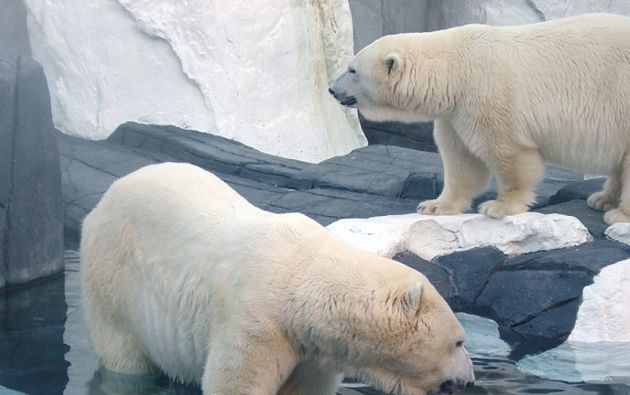 Hay entre 20.000 y 25.000 osos polares distribuidos en 19 poblaciones alrededor del Ártico.