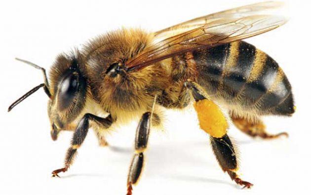 Las abejas reciben una recompensa azucarada junto con un estímulo.