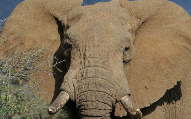 Con un ritmo de entre 25.000 y 30.000 elefantes abatidos cada año, la mortalidad supera ahora la tasa de natalidad del animal. Foto: AFP