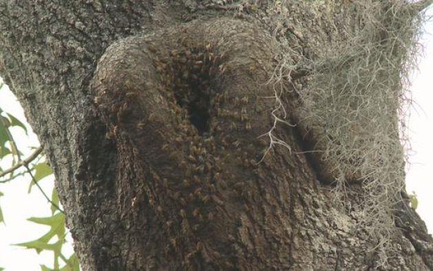 Las autoridades calculan que la colmena que se encuentra en un árbol en la zona residencial aloja a unas 30.000 abejas.