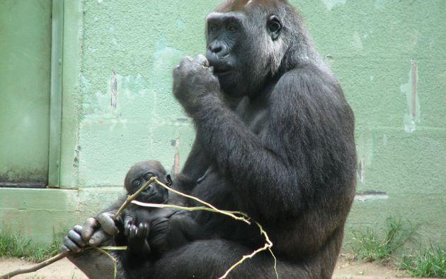 Los investigadores también han determinado cómo ha cambiado el tamaño de la población de los gorilas de montaña en los últimos millones de años.