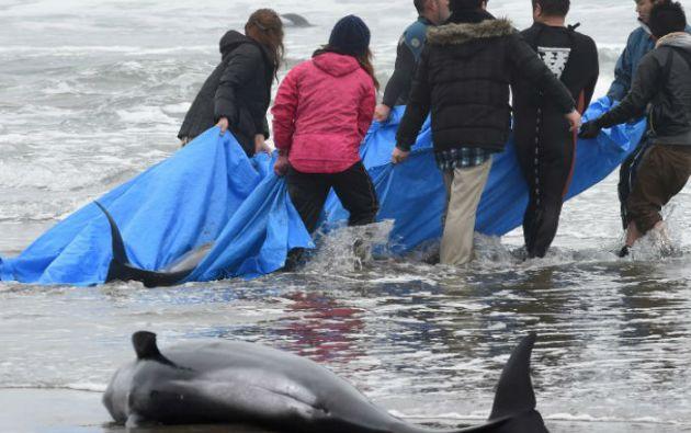 Varios de los cetáceos presentaban profundas heridas. Otros, ya muertos, fueron enterrado. Foto: AFP