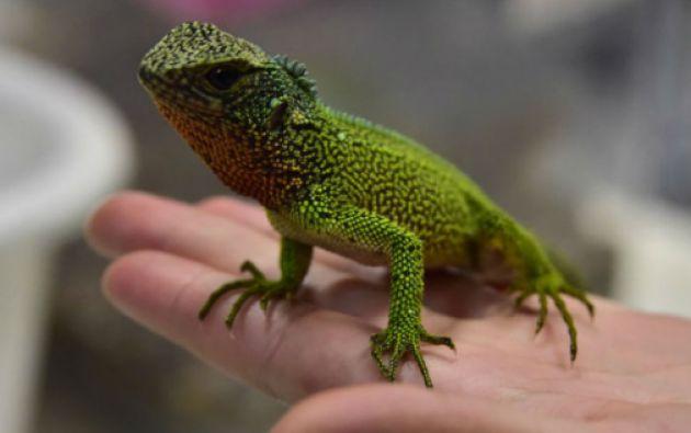 El descubrimiento eleva a 15 el número de especies del género Enyalioides. Foto: AFP