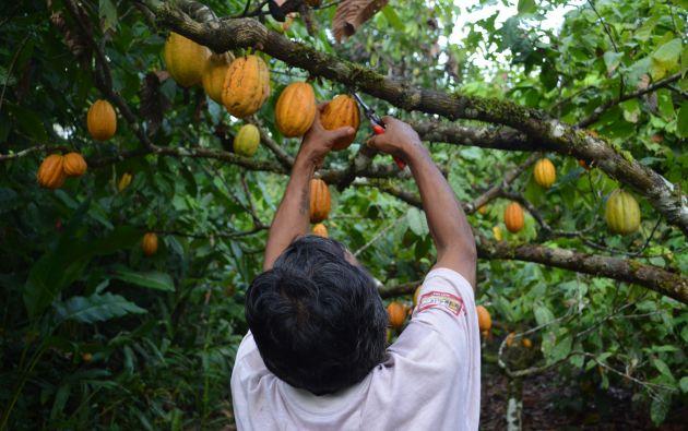 Selección. Los socios usan abono orgánico para producir su cacao. Ellos usan las hojas de varias plantas para obtener un repelente para las plagas. Foto cortesía Asociación Kallari