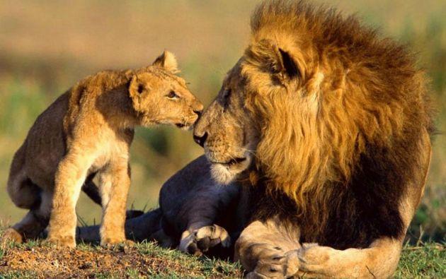 En África viven de 25.000 a 30.000 leones, cuando en 1975 se calculaban en 250.000.