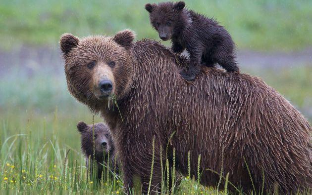 El grizzly es una subespecie del oso pardo que puede llegar a pesar 550 kilos y medir, erguido en dos patas, hasta 2,40 metros