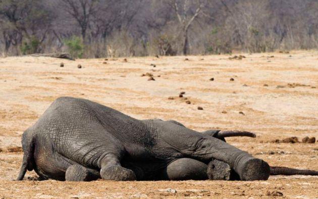Hasta 300 elefantes fueron envenenados con cianuro en el parque natural Hwange y sus alrededores en 2013.