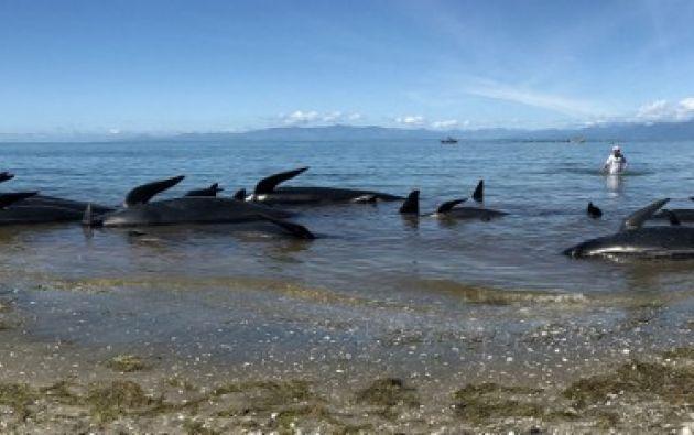 FAREWELL SPIT, Nueva Zelanda.- Varios centenares de ballenas lograron regresar a alta mar por sus propios medios al subir la marea este domingo. Foto: Marty MELVILLE / AFP