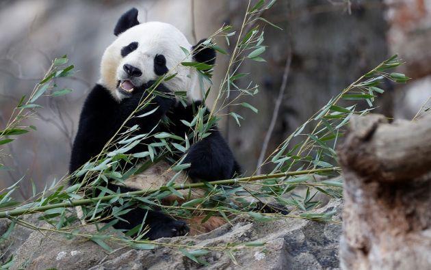 Bao Bao disfruta de una enorme popularidad en el área de Washington y su partida fue transmitida en vivo por Facebook. Foto: REUTERS.