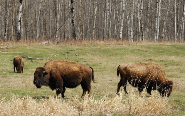 El Parque Nacional Wood Buffalo tiene un área de 44.807 km² y fue declarado Patrimonio de la Humanidad en 1983.  Foto: 4gress.