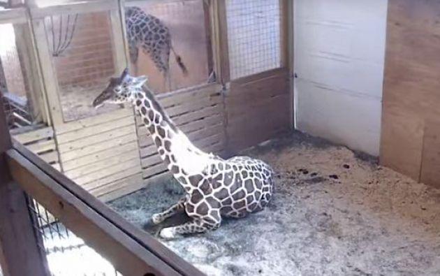 April, una jirafa embarazada de su cuarta cría en un zoológico del estado de Nueva York.