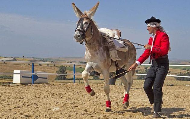 El burro tiene casi seis años y vive en la localidad sevillana de Montellano. | Foto: La Voz Digital.