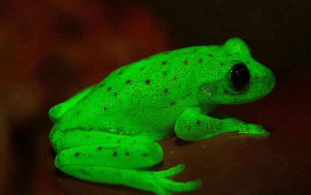 """El equipo de biólogos que han encontrado a la rana de lluvia ecuatoriana, la han bautizado con ese nombre en honor a """"la abrumadora belleza   Imagen: referencial"""