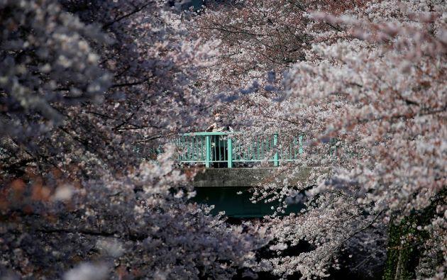 Esta estampa primaveral atrae cada año a más turistas. Foto: Reuters.