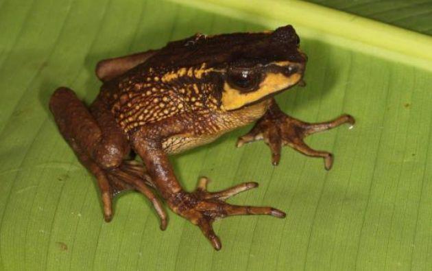 Posee unas glándulas detrás de la cabeza llamadas parotoides, que producen una secreción amarillenta-anaranjada cuando el sapo se siente amenazado. Foto: El diario