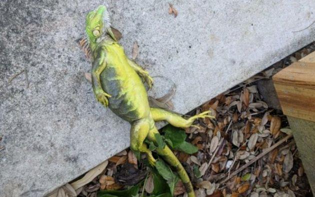 Usuarios de Twitter han publicado fotos de iguanas congeladas, caídas de los árboles. Foto: Ntv