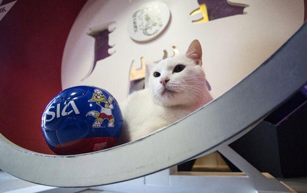 Hasta ahora, el felino, que habita en el museo del Hermitage de San Petersburgo, ha acertado todos sus pronósticos.   Foto: Sputnik Mundo