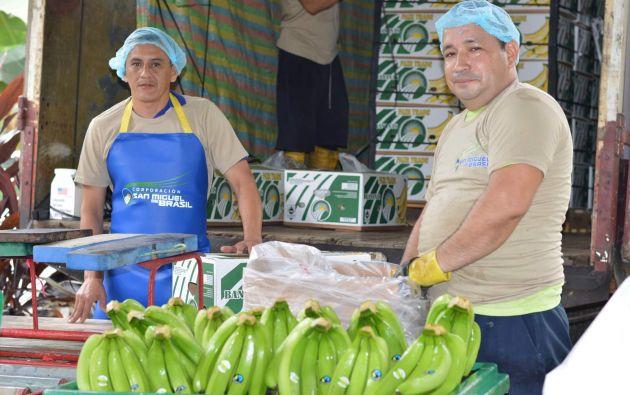 Las plantaciones de banano orgánico cuentan con certificaciones que garantizan que la fruta no recibió carga química en ninguna fase de producción.