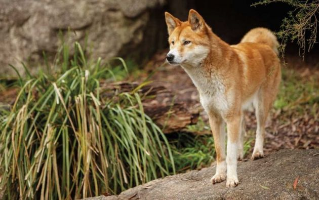Los dingos son animales salvajes y viven de forma completamente independiente de los humanos.