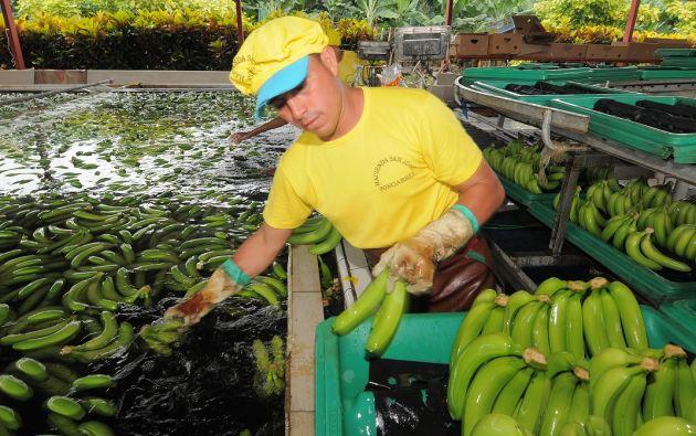 Ecuador es el primer exportador de banano a nivel mundial con ventas por unos 2.800 millones de dólares al año. Foto: archivo