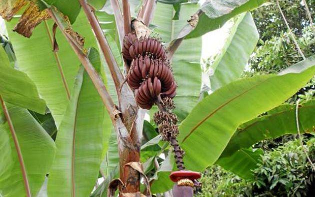 El ministro de Agricultura colombiano dijo que se están erradicando 150 hectáreas de banano y que ya van en la mitad.