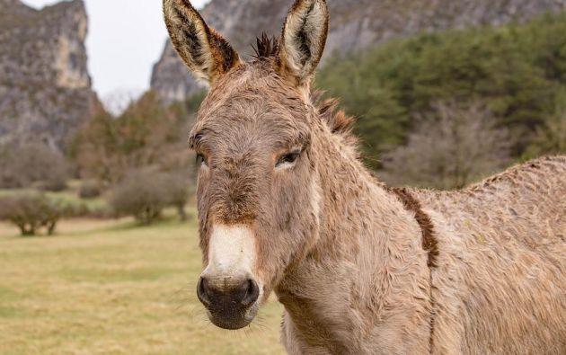 La burra, denominada Hillary, se encontraba en un pequeño islote que cada vez se reducía más por las lluvias. Foto: Pixabay.