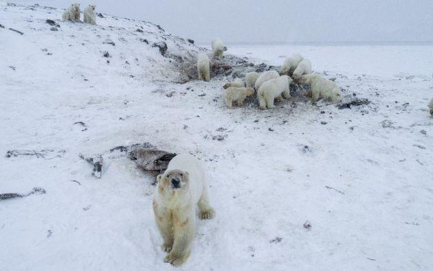 El hielo en el mar no es lo suficientemente sólido como para permitirles salir a cazar.  Foto: AFP