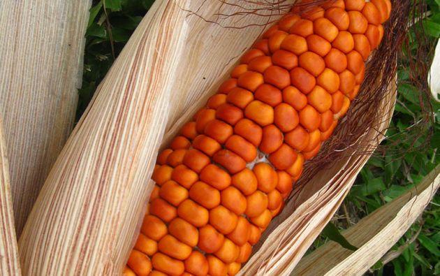 Uno de los ingredientes fundamentales, según la investigación, es el mais pai wea. Esta variedad de maíz domesticada por los secoyas es de color rojizo.