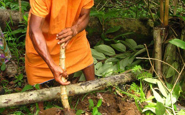 Uno de los alimentos sagrados es la yuca, conocida como a'so en paikoka o lumu en kichwa. De este tubérculo hay dos variedades: una dulce y otra amarga.