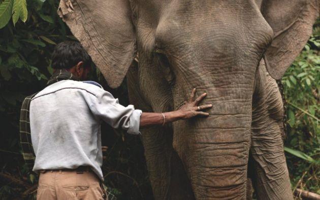 Elefante de carga guiado por la mano de su mahout - El mahout guía al elefante con las puntas de los dedos. Bosque tropical de Dibrugarh, Joypur (Arunachal Pradesh).