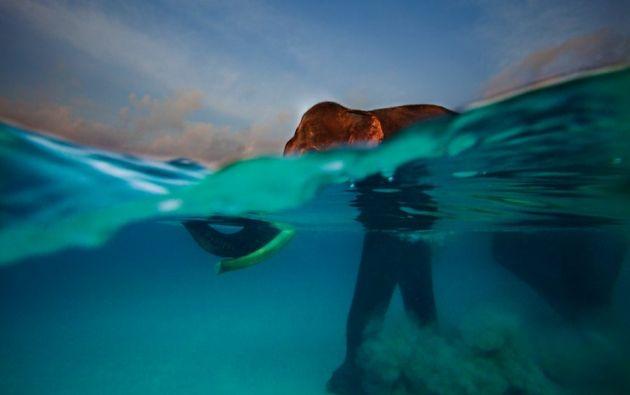 Baño matutino - Rajan, que antes era un elefante de carga, se adentra en el océano para darse su baño matutino. Bahía de Bengala, Isla Havelock (Islas Andamán).