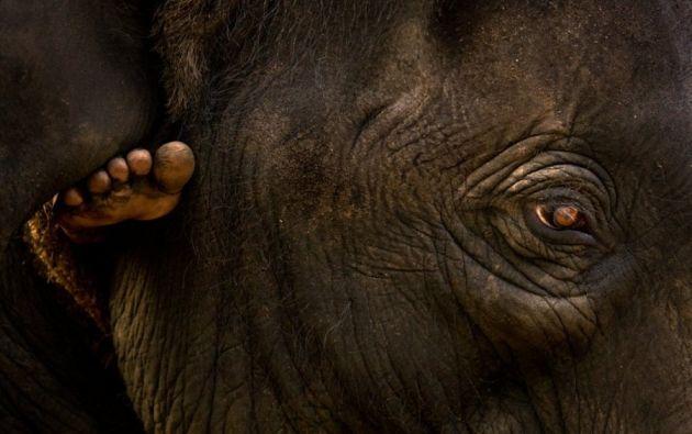Primer plano de un elefante - Pie de un mahout - El mahout lleva al elefante al río Periyar. Centro de Entrenamiento de Elefantes Kodanad, Kodanad (Kerala).