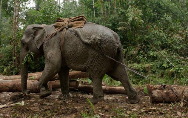 Elefante de carga - Los elefantes de carga son muy ágiles, fuertes y siguen instrucciones precisas. Bosque tropical de Dibrugarh, Joypur (Arunachal Pradesh).