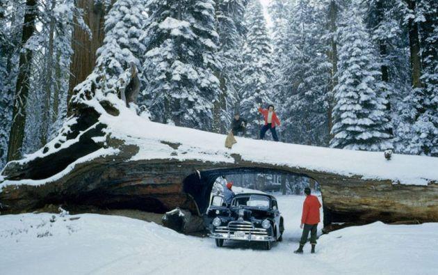 Turistas explorando un enorme árbol muerto con túnel en un bosque de secuoyas, 1951