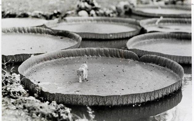 Gato subido en un lirio acuático gigante en Filipinas, 1935