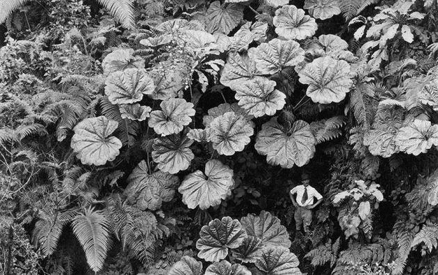 Hombre bajo las hojas gigantes de Ape en Maui, Hawai, 1924