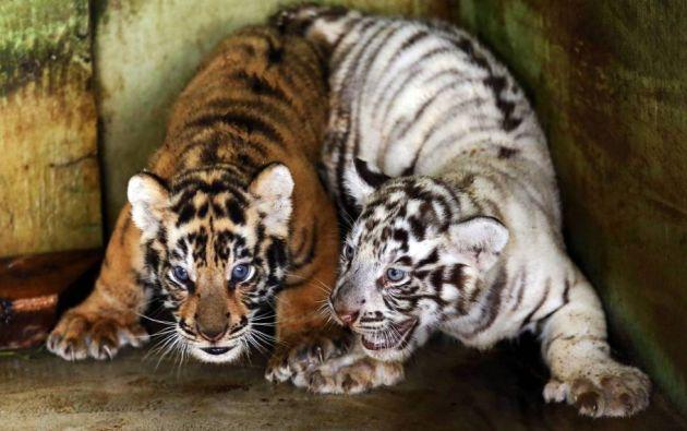 Dos pequeñas crías de tigre de Bengala, con apenas un mes de vida, juegan dentro de una jaula en un zoo de Medan, en la región de Sumatra del Norte (Indonesia). FOTO: DEDI SINUHAJI
