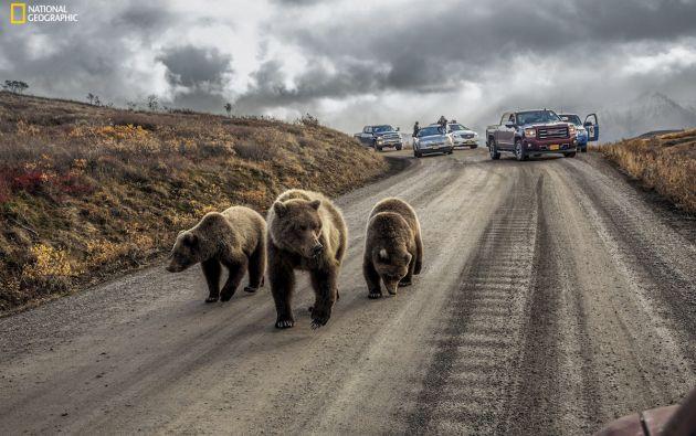 Atasco de osos en Denali