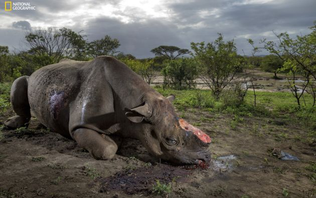 La caza de cuernos de rinoceronte