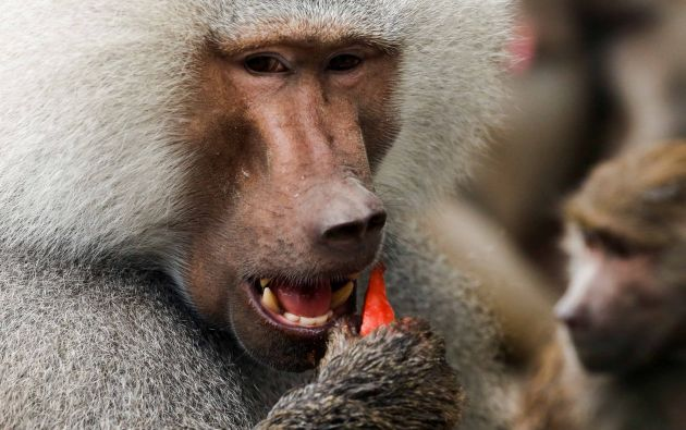 El babuino come un melón en el parque de la fauna de Pekín en Pekín