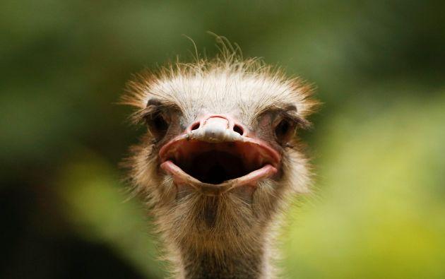 Un avestruz se encuentra en su recinto en el Parque de Vida Silvestre de Beijing en un caluroso día de verano en Pekín