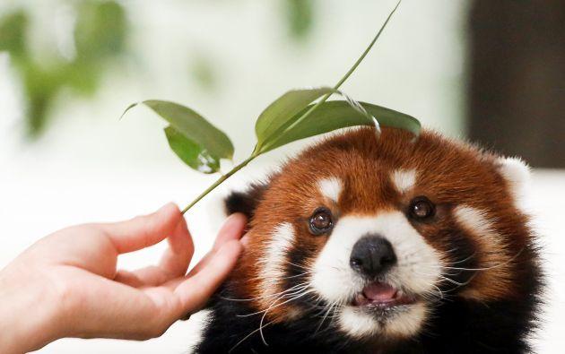 Un cuidador alimenta un panda rojo en el parque de la fauna de Pekín en un día de verano caliente en Pekín