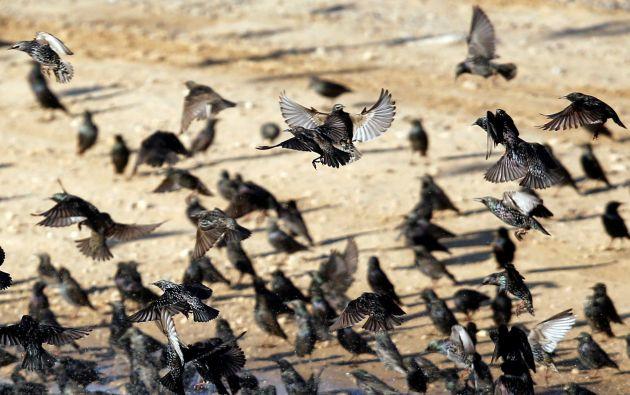 Estorninos migratorios se ven en el cielo de Beit Kama / Fotos: Reuters