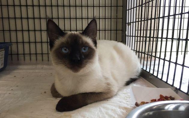 Un gato rescatado del fuego está a salvo en el refugio de Oroville, al sur del Paraíso.