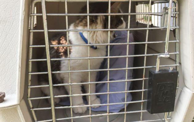 El gato, Luke Skywalker, espera que su familia Robert, Brittany y Eva Pieper lo recojan del refugio.