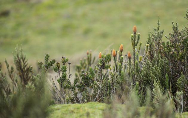 Un arbusto chuquirahua florecido (Chuquiraga jussieui) se ve en los páramos húmedos en la falda del volcán Chimborazo. Foto: AFP