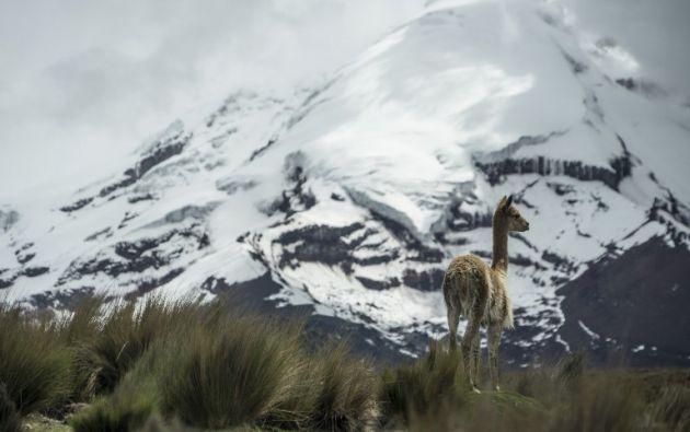 Una vicuña vaga a los pies del volcán Chimborazo. Foto: AFP