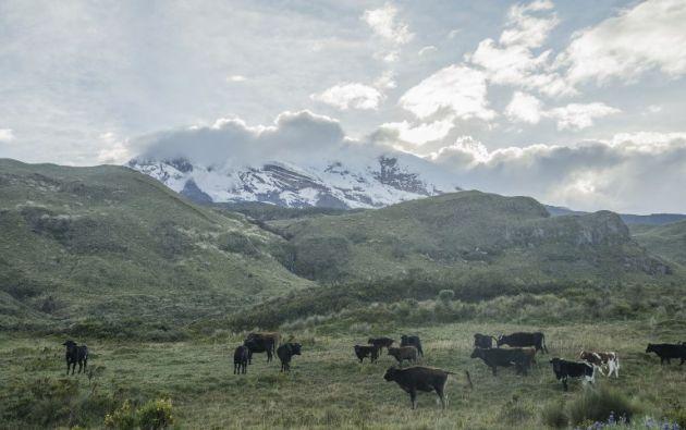 El ganado pastando en los páramos al pie del volcán Chimborazo. Foto: AFP