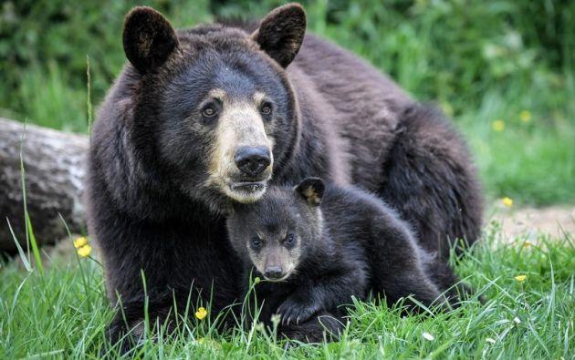 Un recién nacido oso negro americano de Baribal yace junto a su madre en el parque zoológico Planete Sauvage en Francia. Foto: AFP